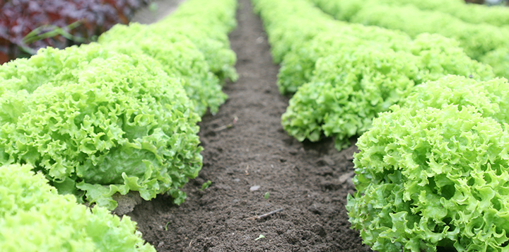 lettuce california yuma vegetable production