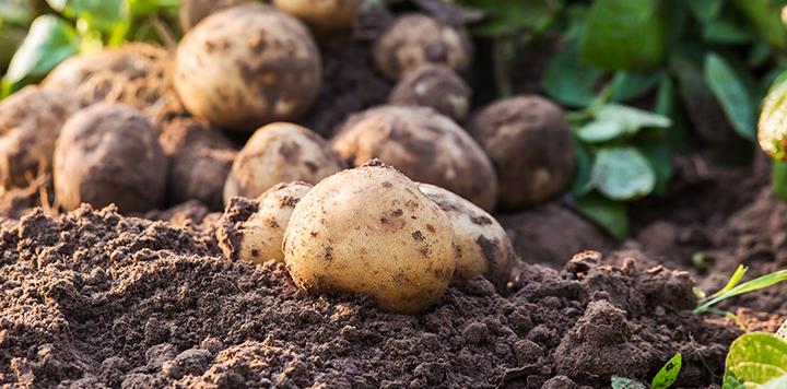 Potato pile in field russet burbank